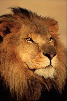 LION - close up plakáty | fotky | obrázky | postery