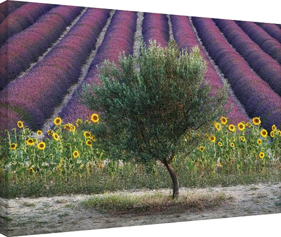 Posters Obraz na plátně David Clapp - Olive Tree in Provence, France, (80 x 60 cm)