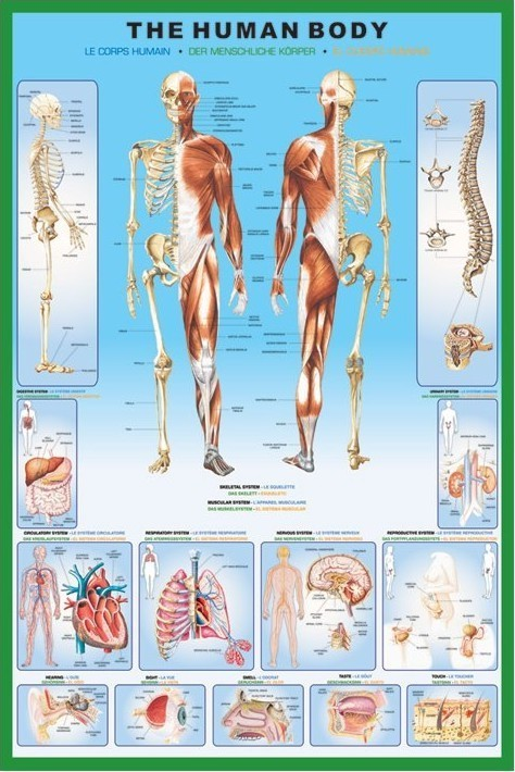 Posters Plakát, Obraz - The human body, (61 x 91,5 cm)