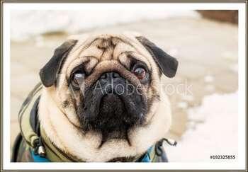 Rámovaný plakát  Dog breed pug. Portrait of a pet