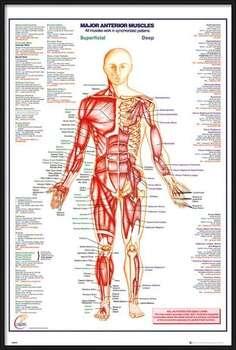 Rámovaný plakát Human Body - Major Anterior Muscles