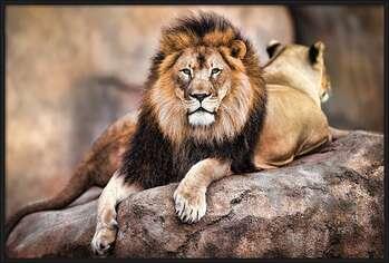Rámovaný plakát Lion - King of the Pride