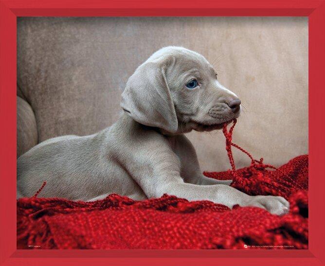 Plakát  Štěně - Red Blanket