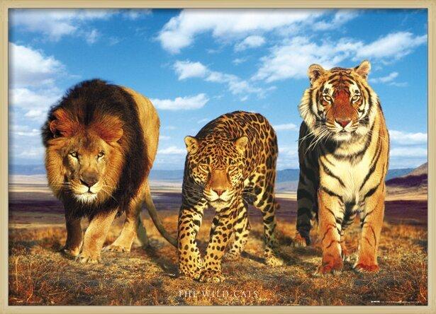 Plakát Wild cats - divoké kočky