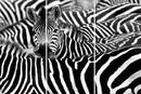 Zebra - Mnoho zeber
