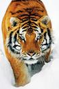 Tiger in the snow - tygr ve sněhu